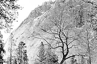 Winter scenes in Yosemite Valley located in the Yosemite National Park..A winter tree near Mirror Lake.