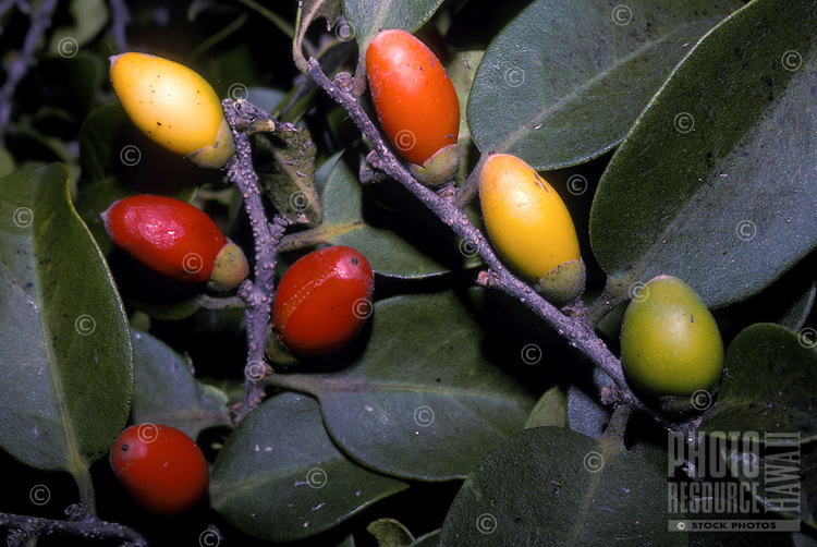Lama, native Hawaiian persimmon (Diospyros sp.), dry forest food of native Hawaiian Crow
