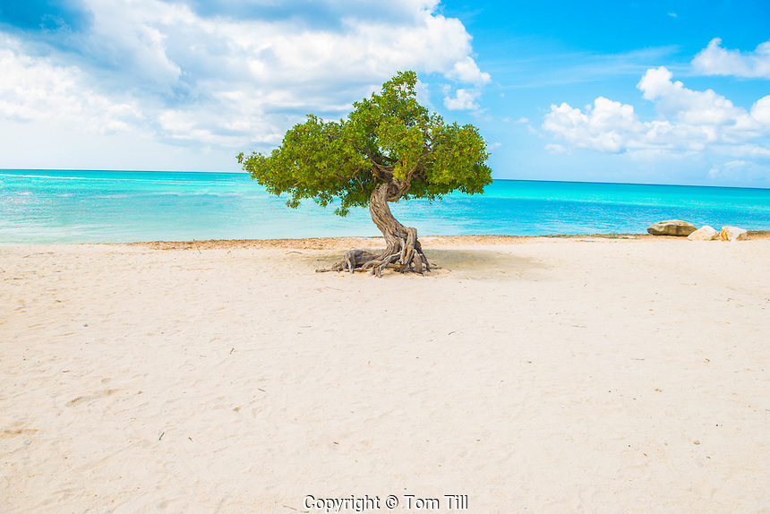 Divi divi tree at Eagle Beach, Aruba,  wind-scuplted native tree, Caribbean Sea