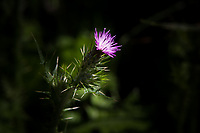 Vivid purple with white highlights - a thistle flower signals spring along an urban hiking path.