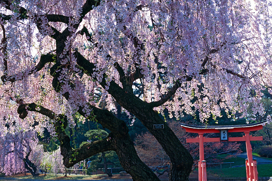 Cherry Blossoms, Brooklyn Botanic Garden, Brooklyn, New York, Japanese Hill and Pond Garden