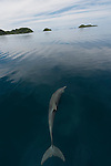 Indo-Pacific Bottlenose Dolphin (Tursiops aduncus) in the flat calm and scenic waters of Raja Ampat