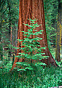A giant sequoia mentors a younger tree in the Mariposa Grove in Yosemite.