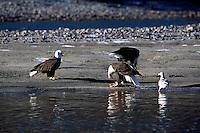 Mature Adult Bald Eagles (Haliaeetus leucocephalus) feeding on Spawned Out Coho Salmon beside a River