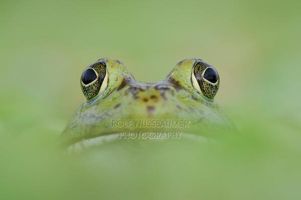 Bullfrog (Rana catesbeiana), adult in lake, Fennessey Ranch, Refugio, Coastal Bend, Texas, USA
