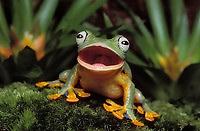 BLUE-WEBBED GLIDING FROG/Reinwardt's Flying Frog. Burping..Indochina, Sumatra, Java..Rhacophorus reinwardtii. Captive.