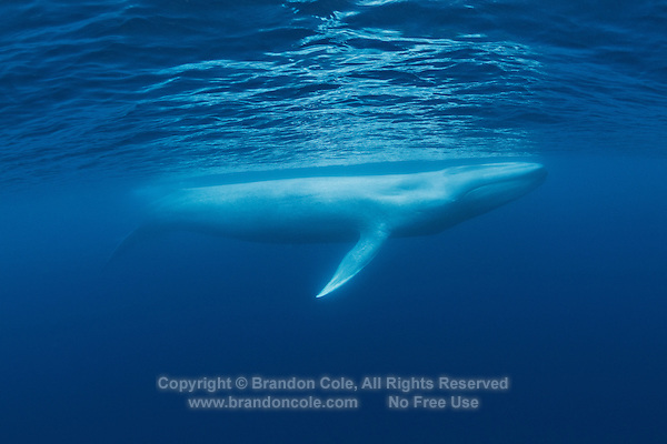 TC0067-D. Blue Whale (Balaenoptera musculus) underwater, now an endangered species because of intensive hunting by whalers. Calves born about 23 feet long, grow quickly drinking 100 gallons of milk per day. Adults 80 to 100 feet long, females slightly larger than males. Feeding dives usually last 5-20 minutes, usually breathes at surface for 2-6 minutes between dives. Bushy spout can be 30 feet tall. Pacific Ocean.<br /> Photo Copyright &copy; Brandon Cole. All rights reserved worldwide.  www.brandoncole.com