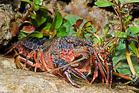 414490015 a wild pocambarus species of crayfish sits in aquatic plants in a small pond on a ranch in south texas
