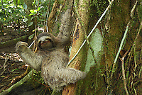 Brown-throated Three-toed Sloth (Bradypus variegatus), adult, Cahuita National Park, Costa Rica