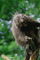 Hedgehogs, Porcupines