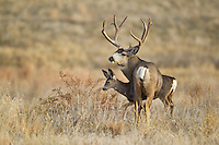 Mule deer (Odocoileus hemionus)buck with doe during autumn rut