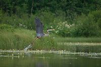 A Great Blue Heron takes flight from a marsh at Isle Royale national Park.