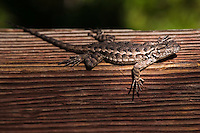 A lizard stares into the camera while resting on a wooden fence support, its right front leg dangling over the edge.