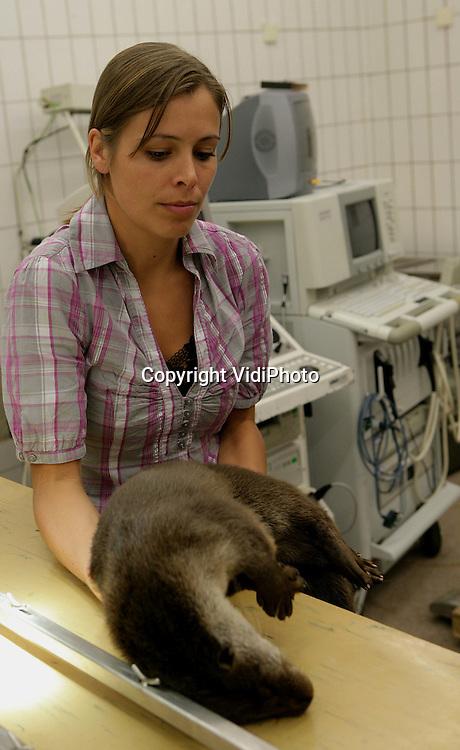 """Foto: VidiPhoto..ARNHEM - In Burgers' Zoo in Arnhem zijn maandag de laatste twee otters van het herintroductieproject voor otters voorzien van een zender. Binnen nu en een week worden de dieren losgelaten in De Wieden in Overijssel. Het project """"Herintroductie Otters Nederland"""" wordt uitgevoerd door Alterra in Wageningen en gesubsidieerd door diverse overheden en natuurorganisaties. Met deze laatste twee dieren uit Oost-Europa zijn er vanaf 2002 in totaal 32 otters in Nederland uitgezet. De helft daarvan is inmiddels gesneuveld of weggetrokken. Omdat de overgebleven otters jongen hebben gekregen, leven er nu 35 in het wild."""