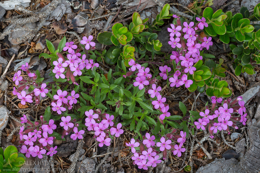 Tumbling Ted / Rock Soapwort {Saponaria ocymoides} growing at the edge of a pine forest. Nordtirol, Austrian Alps. June.