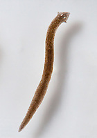 A live brown speckled planarian {Dugesia tigrina} swimming in a dish full of water above a white background.  The light is coming from the left, and its shadow is subtly visible.  The pharynx (a tube the flatworm extends from its body for feeding) may be visible as a darkened tube in the middle of its body.  The planarian almost seems to be swimming as a sine wave.