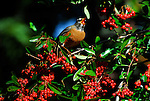 American robin eating pyracantha berries