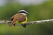 Great Kiskadee, Costa Rica