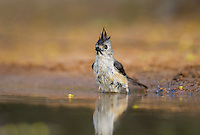582060032 a wild black-crested titmouse baeolophus atricristatus bathes in a small pond on santa clara ranch starr county texas united states