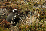 Magellanic Penguin - Falkalnd Is.
