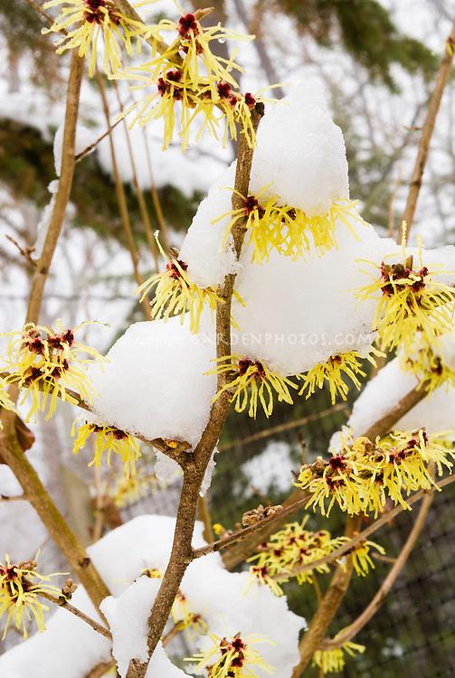 Hamamelis Pallida in flower in winter snow