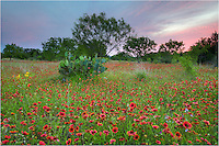 This Texas Hill Country image of Texas Wildflowers comes from Llano County. The bluebonnets had faded, giving way to the reds of the Indian blankets that covered the this field. I was fortunate to arrive here at the start of a nice sunset. The colors of the sky really lit up for about 3 minutes, then were gone just as quickly.  ..It was a peaceful evening in the Hill Country, and I enjoyed not only capturing this Texas Wildflower picture, but the tranquil field of reds and golds, as well.
