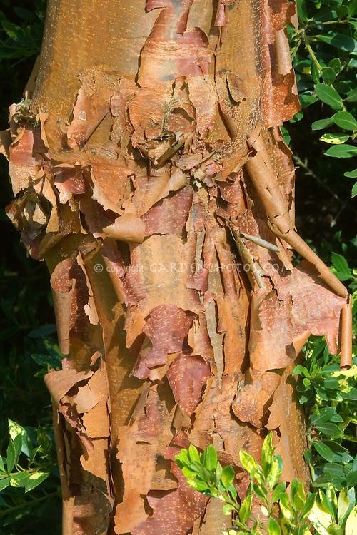Acer griseum bark tree
