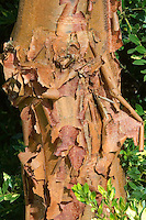 Acer griseum bark tree