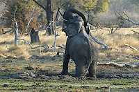 Elefant (loxodonta africana) taking a mud bath. The mud bath helps the elephant stay cool and protects against the intense sun and insects.<br /> Moremi, Botswana.<br /> September 2007.