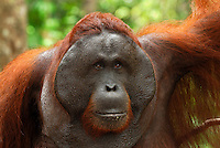 Male Borneo Orangutan face (Pongo pygmaeus), Camp Leaky, Tanjung Puting National Park, Kalimantan, Borneo, Indonesia.