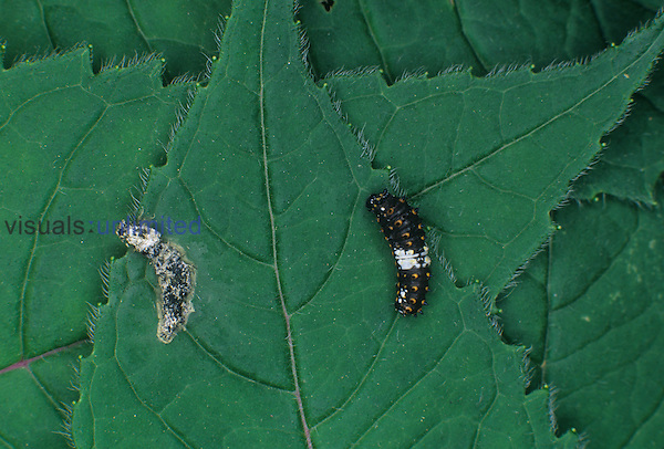 Bird-dropping mimic larva or caterpillar (right) of Variegated Fritillary Butterfly (Euptoieta claudia) next to a real bird dropping (left) on a leaf, Family Nymphalidae, North America.
