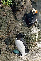 Thick-billed murre incubates an egg on the cliffs of St. Paul Island, Pribilof Islands, Alaska.