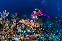 12 June 2014: SCUBA diver Sally Herschorn encounters a Hawksbill Sea Turtle (Eretmochelys imbricata) as she explores the wall and reef scenery at Hammerhead Hill, on the North Shore of Grand Cayman Island. Located in the British West Indies in the Caribbean, the Cayman Islands are renowned for excellent scuba diving, snorkeling, beaches and banking.  Mandatory Credit: Ed Wolfstein Photo *** RAW (NEF) Image File Available ***