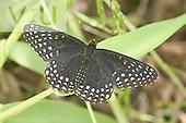 Baltimore Checkerspot (Euphydryas phaeton), adult male, Oklahoma, USA.