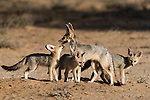 Cape fox family, Vulpes chama, Kgalagadi Transfrontier Park,Northern Cape, South Africa