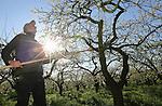 Foto: VidiPhoto<br /> <br /> HERVELD - In een wirwar van bloesemtakken proberen fruitteler Toon Vilier (foto) en zijn snoeimaat  Theo Meurs maandag dode takken te verwijderen uit de pruimenbomen. De oude bomen op het perceel in Herveld in de Betuwe moeten ieder jaar flink uitgedund worden om nog een goede oogst aan wijnpruimen te kunnen geven. Dat gebeurt nog op de ouderwetse wijze met een lange snoeizaag. De gepensioneerde 78-jarige Meurs heeft de bomen nog helpen planten en is al 55 jaar in de fruitteelt werkzaam. De pruimenbongerd in Herveld is het laatste stuk boomgaard van Viliers dat nog gesnoeid moet worden.