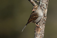 Adult Chipping Sparrow in non-breeding plumage (winter).