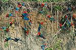 Green-Winged Macaw, Reserva del Manu, Peru