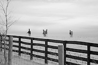 Four horses watching from their side of the fences in rural Kentucky.  Infrared (IR) photograph by fine art photographer Michael Kloth.