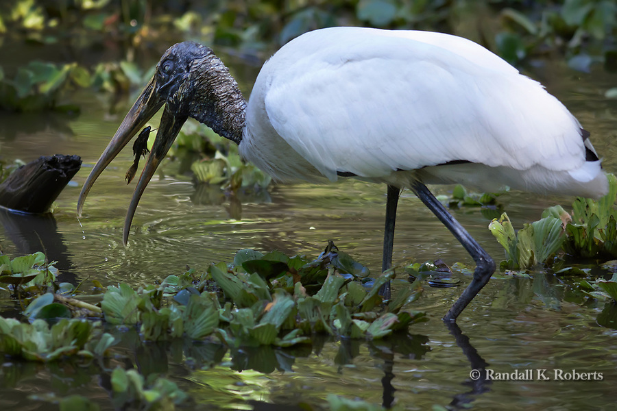 Wood Stork, Audubon Corkscrew Swamp Sanctuary, Florida
