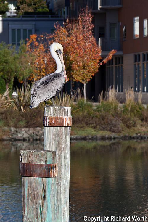 A brown pelican poses on a piling in San Francisco's MIssion Creek with a bit of fall color for background.