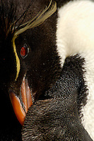 Close up of a Rockhopper Penguin preening (Eudyptes chrysocome), Falkland Islands.