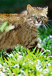 Pampas cats come in a variety of color patterns depending upon their location, Brazil, South America