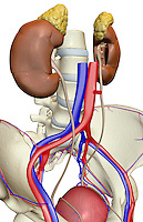 An anterolateral view of the male urinary system relative to the skeleton.  The inferior vena cava, abdominal aorta and common iliac artery and vein are included. Royalty Free