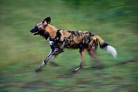 African Wild Hunting Dog (Lycaon pictus)