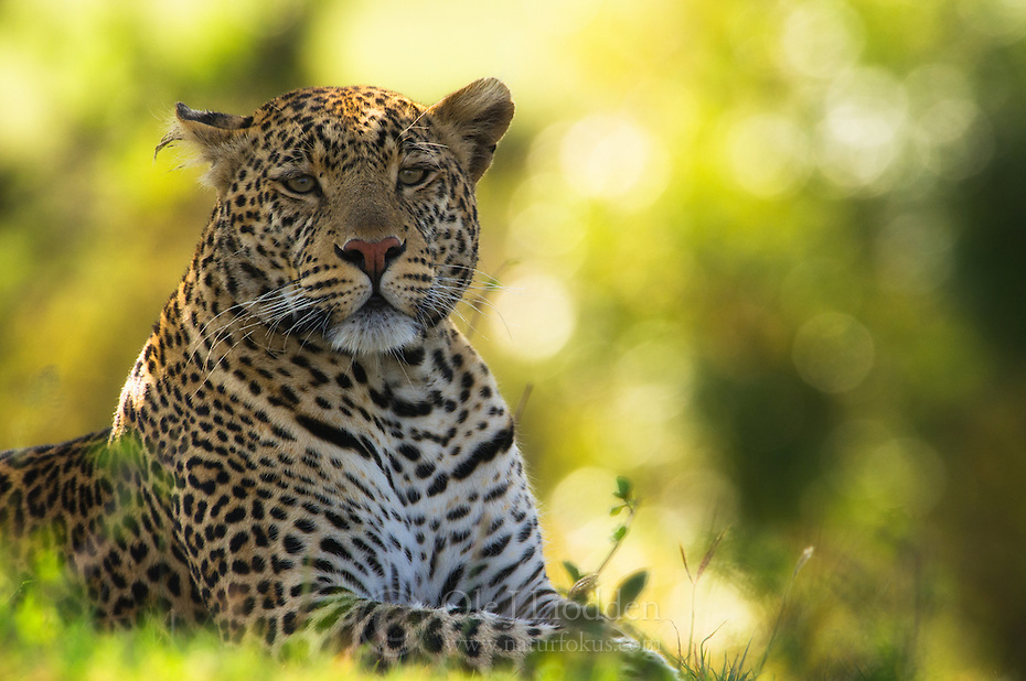 Leopard (Panthera pardus) resting in the shadow, Masai Mara, Kenya