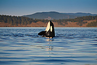 Resident Killer Whale (Orcinus orca) spy hopping in the middle of Haro Strait between  BC and Washington.