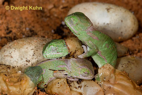 CH43-533z  Veiled Chameleon young hatching from eggs, Chamaeleo calyptratus