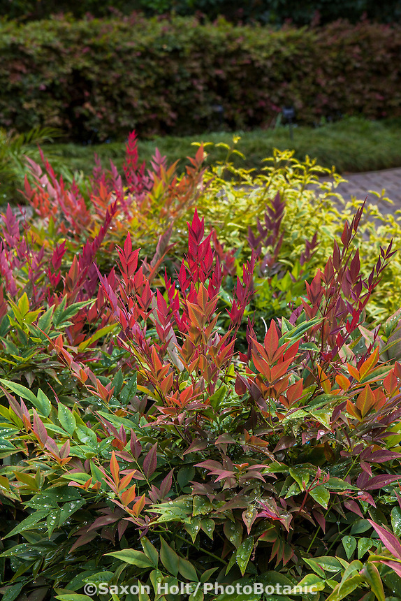 Nandina domestica 'Obsession' with fresh red new growth foliage; Sunset Plants