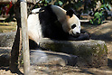 April 1, 2011, Tokyo, Japan - A female giant panda &quot;Shin Shin&quot; is seen at Ueno Zoo in Tokyo on Friday, April 1, 2011, on the first day its appearance with a fellow male panda &quot;Ri Ri&quot;, not seen, to the public. Thousands of visitors flocked to catch a first glimpse of a pair of pandas on loan from China, in a welcome respite from the gloom over last month's massive earthquake and tsunami in northern Japan. (Photo by Daiju Kitamura/AFLO) [1045] -ty-..